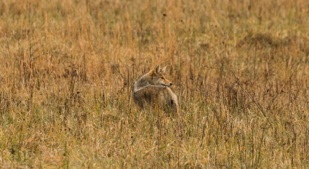coyotes in harbor oaks